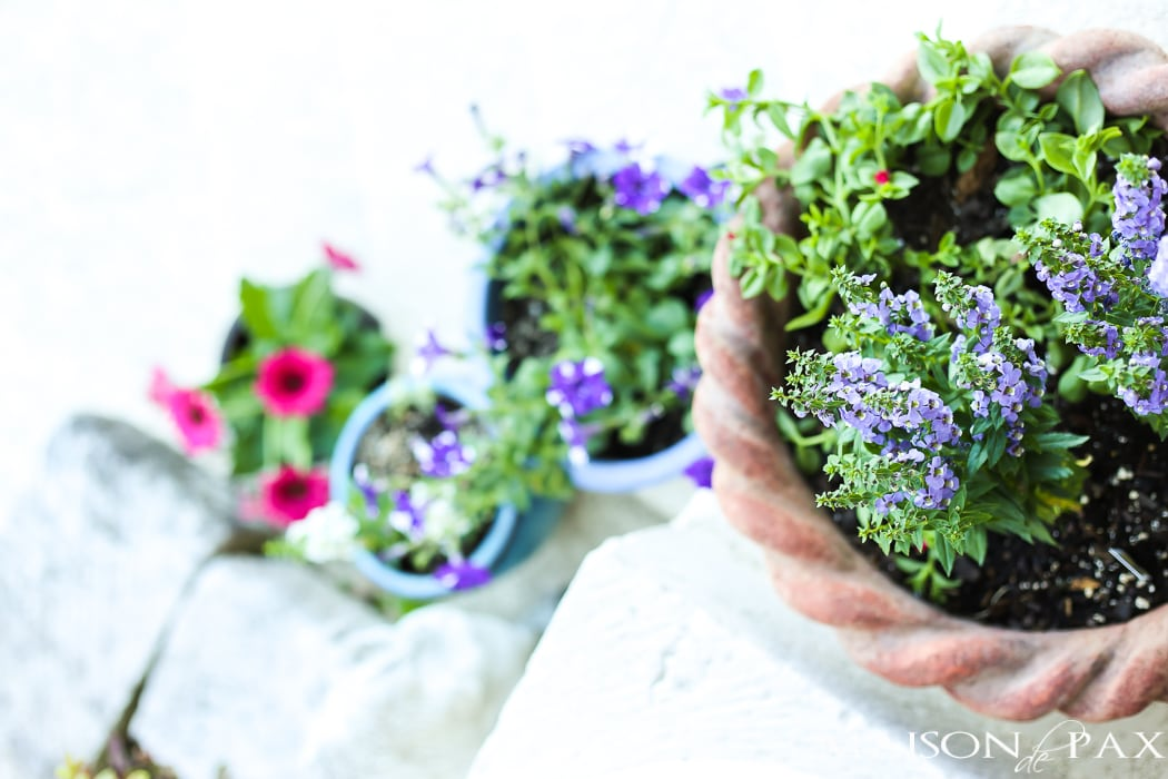 Spring planters filled with petunias and annuals- Maison de Pax