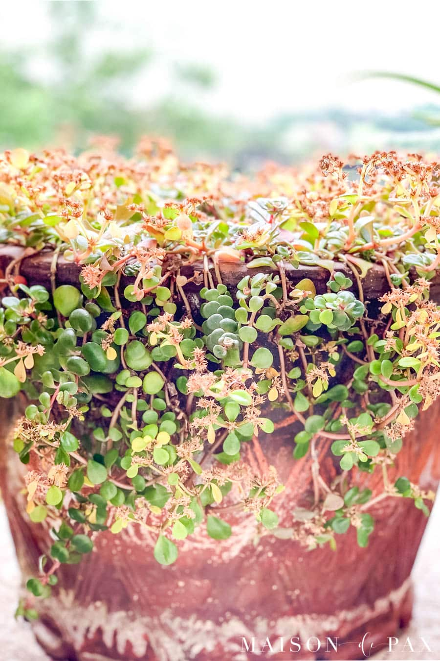 green and red succulent spilling over aged terra cotta pot | Maison de Pax