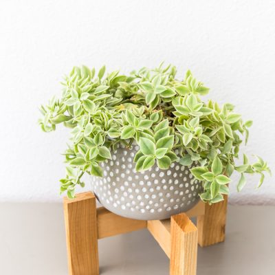 ice plant in gray and white pot in modern cedar wood stand | Maison de Pax