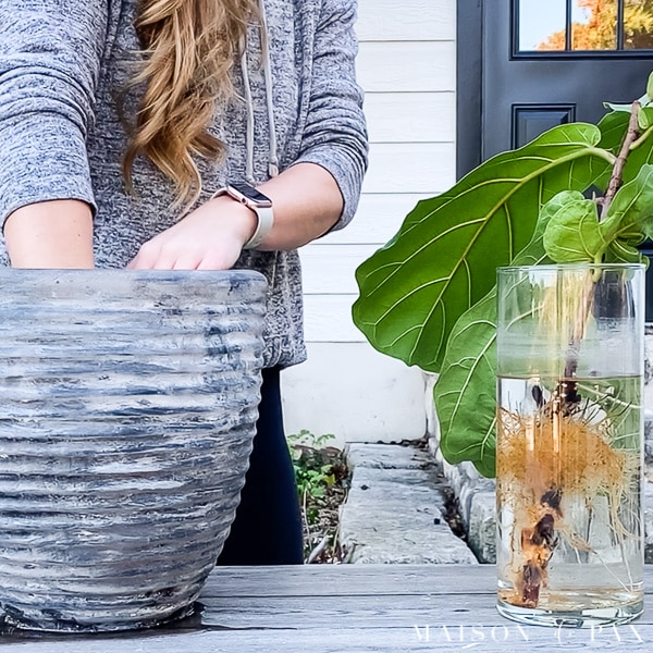 plant fiddle leaf fig clipping in soil