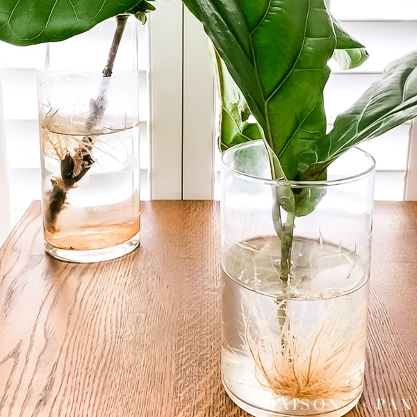 root in water fiddle leaf fig propagation