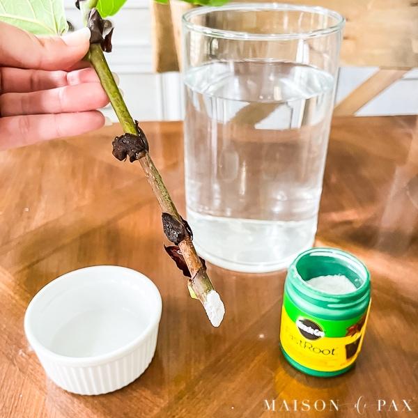 rooting hormone powder for fiddle leaf fig propagation