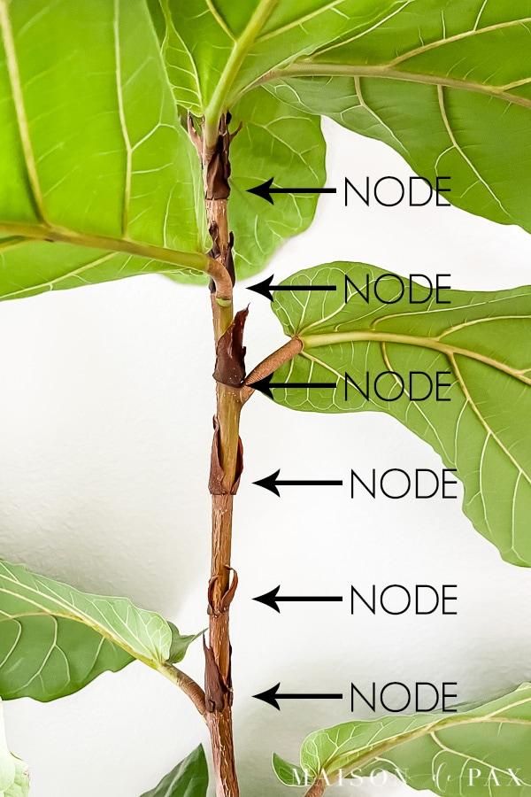 cut between nodes on fiddle leaf fig plant