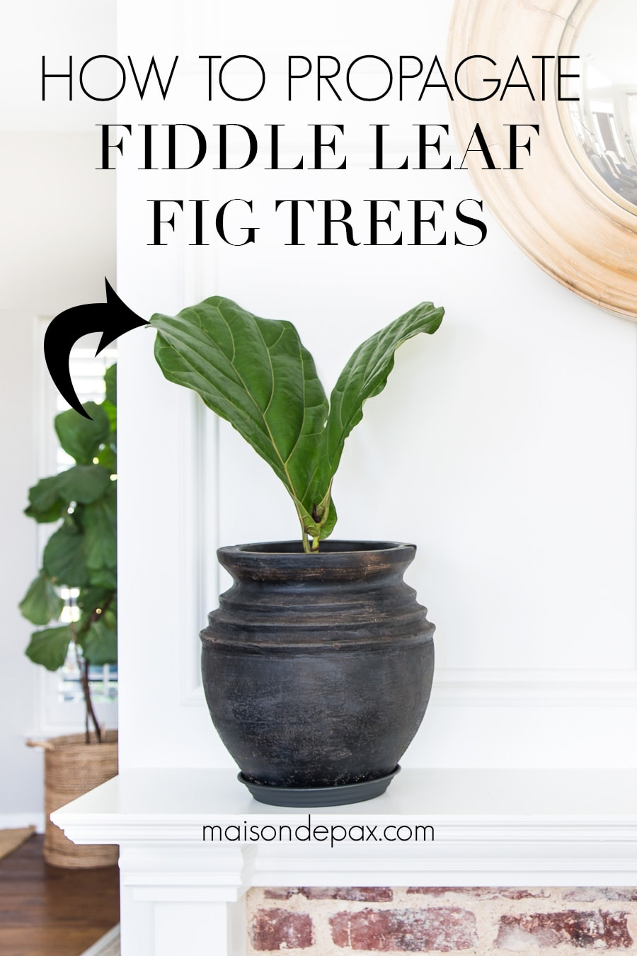 how to propagate fiddle leaf fig trees