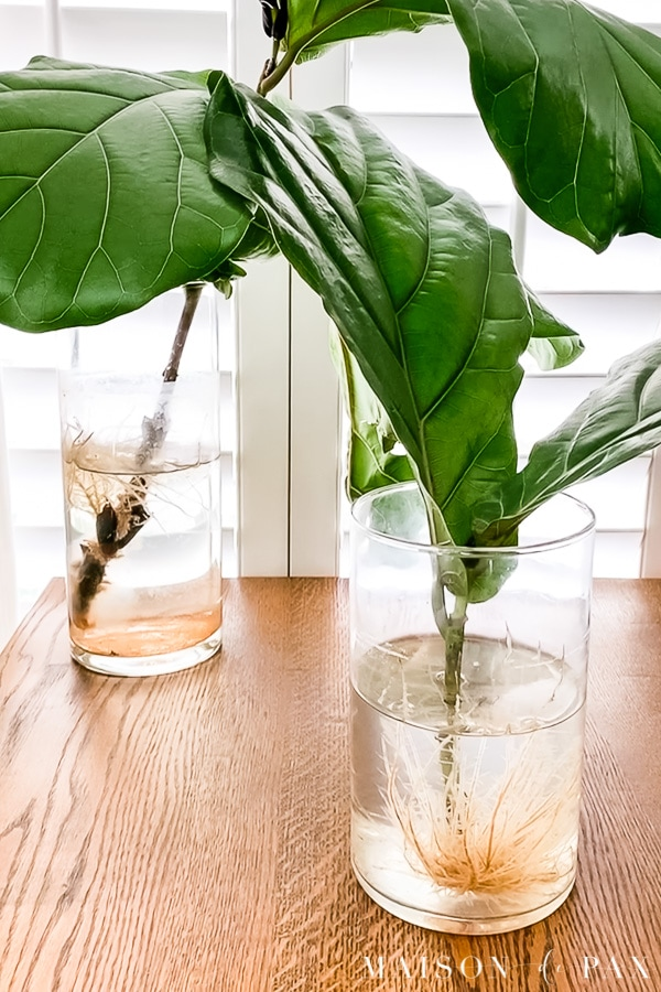 fiddle leaf fig roots growing in water